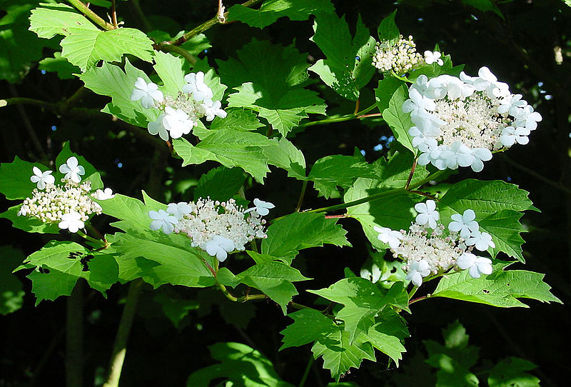 Gelderse roos (Virburnum opulus)