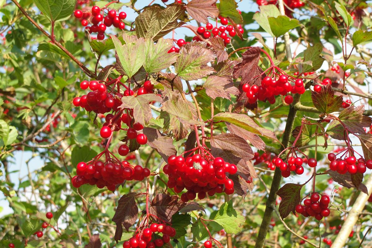 Gelderse roos met vruchten