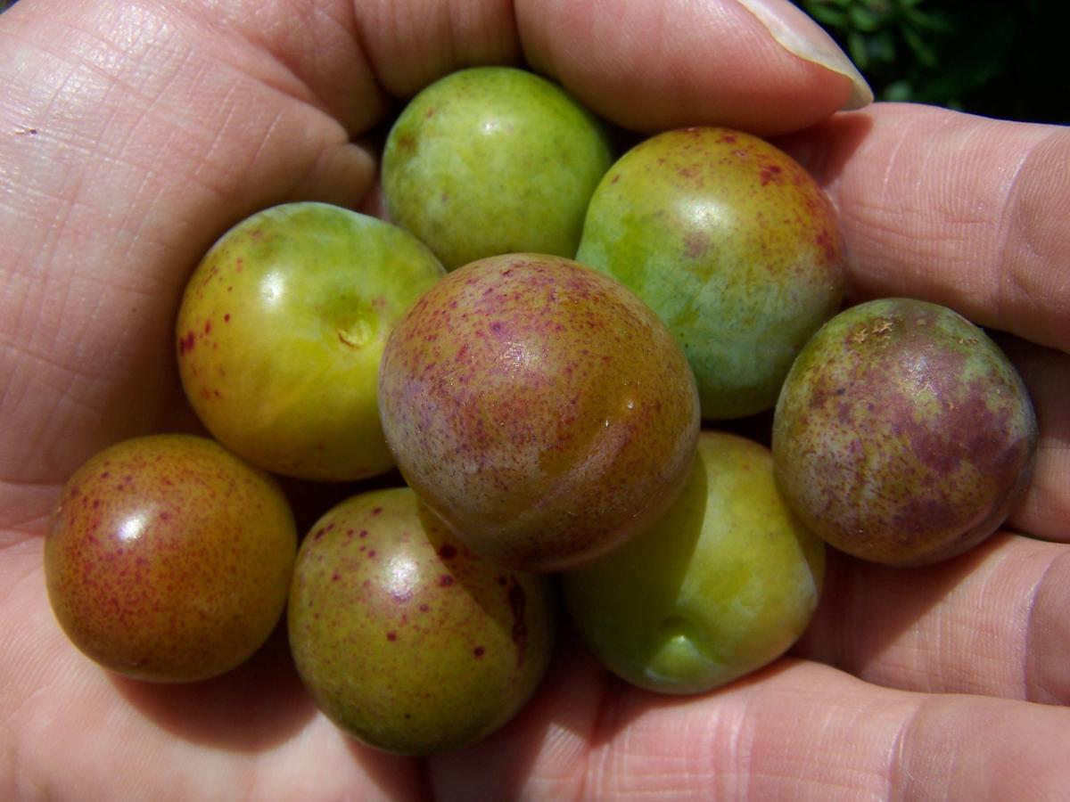 Wichter vrucht van de Gele kroosjespruim