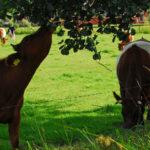 Koe eet Zwarte els
